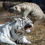 小老虎整天對媽媽做這種事情...結果母老虎發飆了竟然一口...