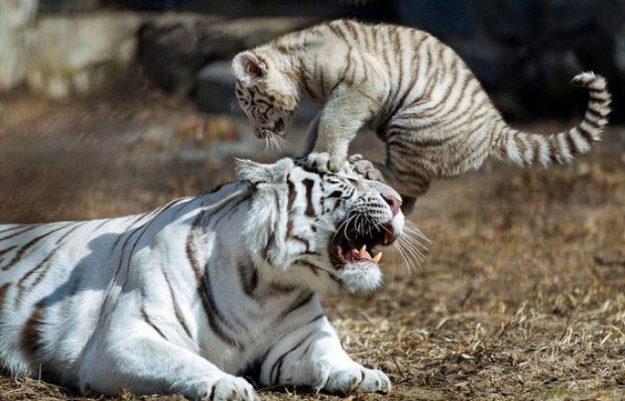 小老虎整天对妈妈做这种事情...结果母老虎发飙了竟然一口...