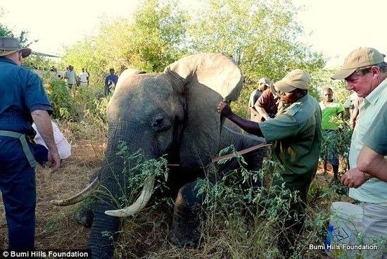 大象遭偷獵者槍擊受傷,竟然跑到酒店求助人類!